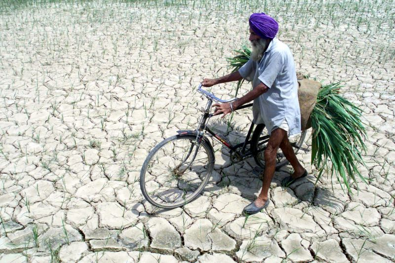 A Sikh farmer walks through a parched paddy field carrying fodder for his animals