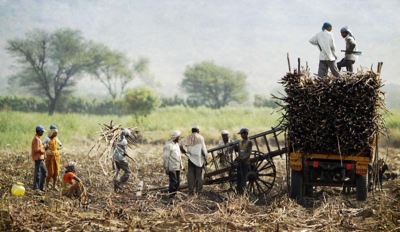 Maharashtra sugar mills owe Rs 593 cr to farmers