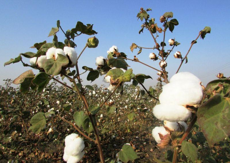 Damage of cotton crops