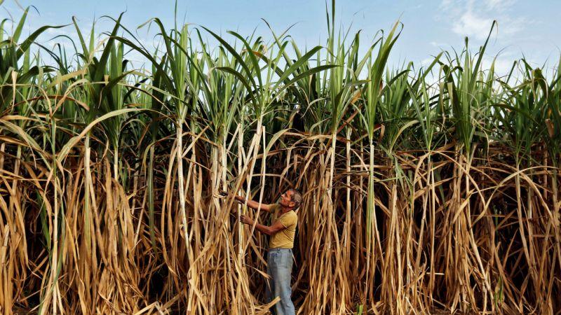 Maharashtra is one of the leading sugarcane producing states