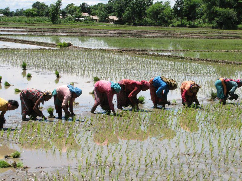 paddy saplings before June 20